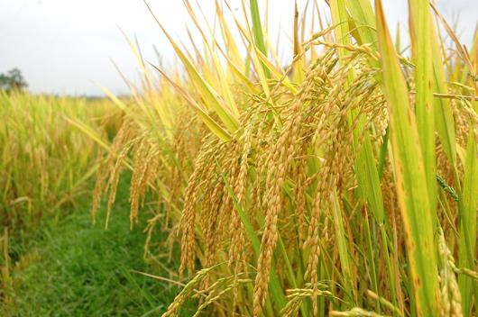 Kết quả hình ảnh cho bông lúa