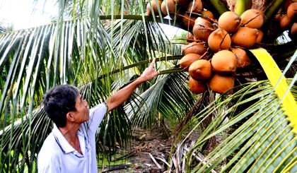Ông Nguyễn Văn Út vươn lên làm giàu nhờ trồng dừa Mã Lai.